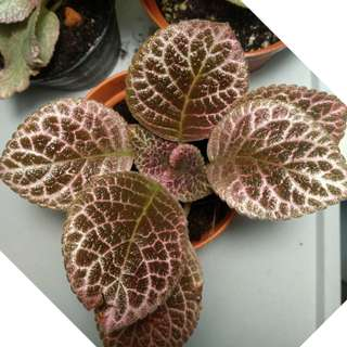 PLANT *NEW* Hybrid Episcia Chocolate Shimmer