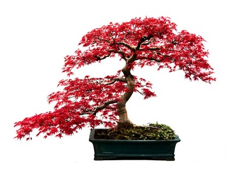 Gardening Japanese Maple Acer Palmatum Bonsai Seeds X 2