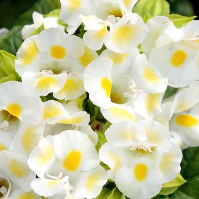 RARE yellow Torenia