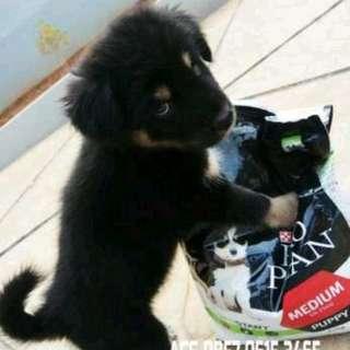 Anak anjing rottweiler bonus kandang dan dog food premium