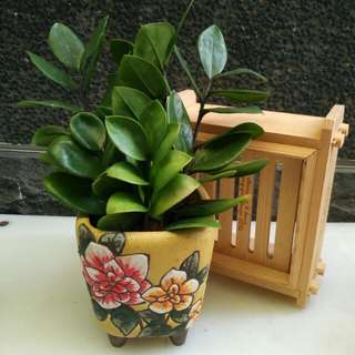 Zz plant in flower pot