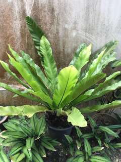 Large bird nest fern in pot