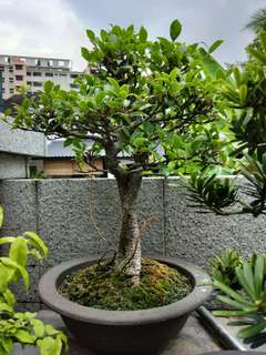 Bonsai ficus retusa tiger bark ficus