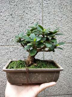 Mini Bonsai ficus elastica