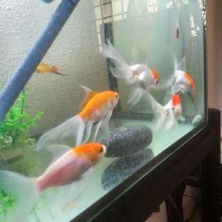 RanChu Aquarium
