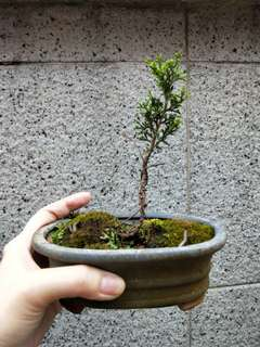 Mini bonsai Juniperus