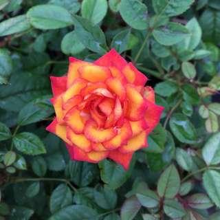 Varigated Roses