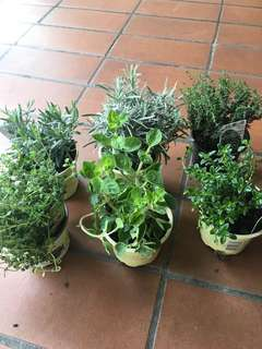 Assorted Herbs (Holland)