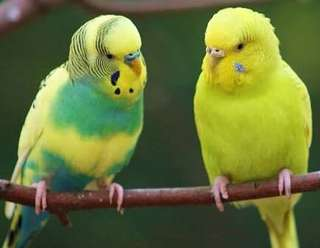 Pet parrots for sale