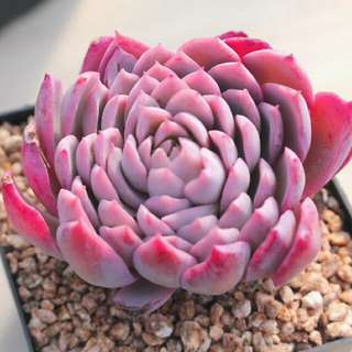 😍RARE SUCCULENTS: S030 - Echeveria Violet Queen (FIRST COME FIRST SERVE! VERY LIMITED STOCKS!)😱