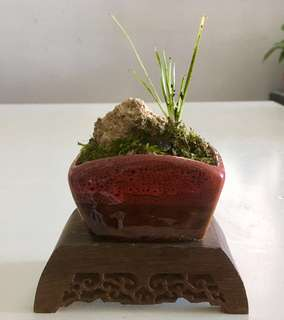 日本黃金姬菖蒲吸水石微型盆景