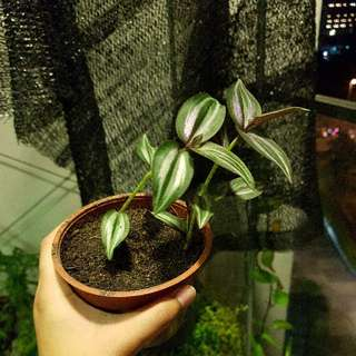Purple Leaf Plant 2