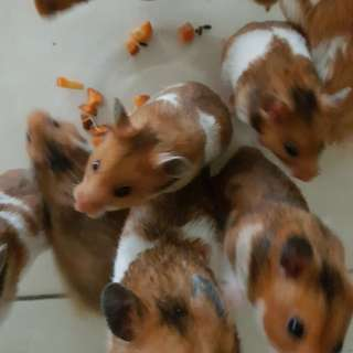 Hamster Syria