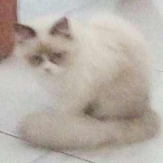2 ekor Kucing Anggora