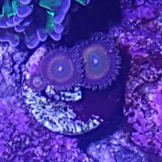 Zoanthid Candy Apple