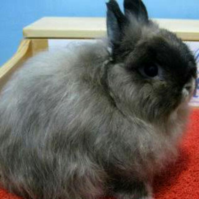 Rabbit Jersey  Wooly (Angora)