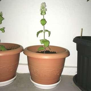 香荆芥Flowering Nepeta Cateria CatMint Herb Tea Catnip Mint Plant Urban Garden Organic Farming 猫薄荷