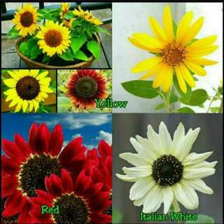 GARDENING - Sunflower Seeds For Sale