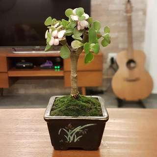 Jade Plant In Hand Painted Pot