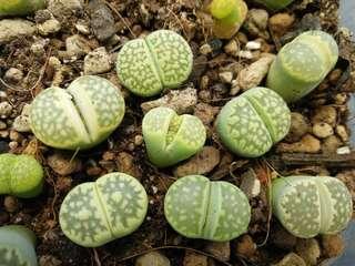 Greenish Lithops seeds for sale
