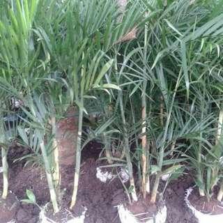 Jual pohon palam komodoria / Tanaman palem komodoria