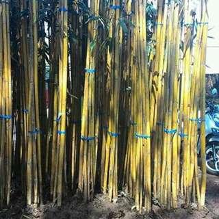 Jual Tanaman Bambu kuning / Pohon bambu panda