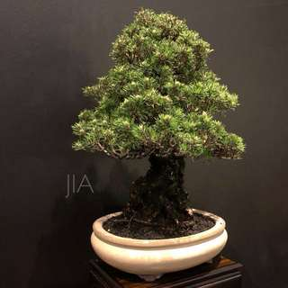 Reserved Genuine Kotobuki Bonsai - Large
