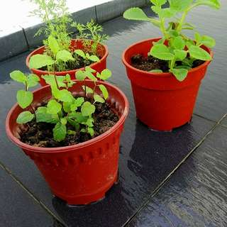 Promotion Herbs : 3 pots for $9.90. Mint, Mexican mint and dill