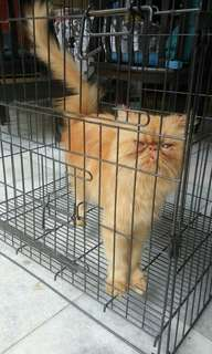 Anabell cat kucing betina peaknose red tabby