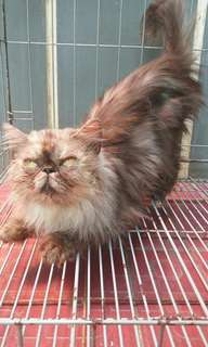 Onies cat kucing betina peaknose smoke