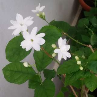 Moving out sale / Clearance / CNY / Jasmine plant /plant / horticulture and /gardening