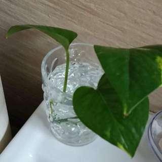 Money Plant Cuttings