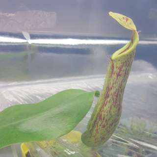 Pitcher plant - Nepenthes Dyriana
