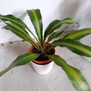 Indoor plant- 铁树