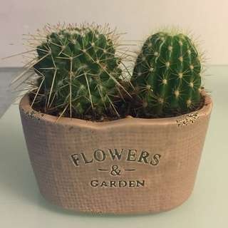 Cactus in Small Porcelain Pot