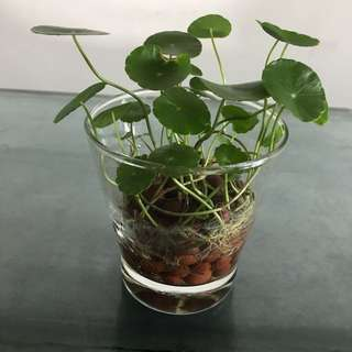 Marsh Pennywort In Glass Pot