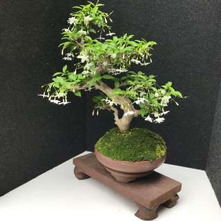 🌿Mini Shui Mei Bonsai🌿