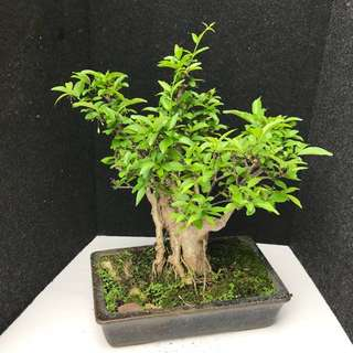Shui Mei Bonsai