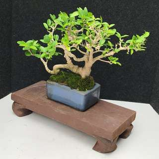 🐉Mini Shui Mei Bonsai🐉