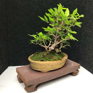 🌿Mini Shui Mei Bonsai 🌿