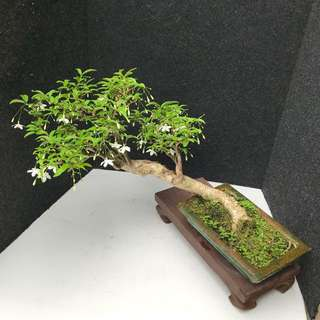 🐍Mini Shui Mei Bonsai 🐍