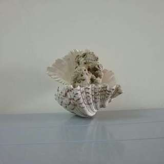 Sabah Origin Seashell with Coral