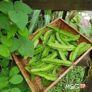 NEW SEASON OF WINGED BEAN SEEDS (Pack of 6 seeds)