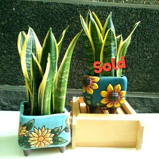 Snake plant in hand-painted flower pot