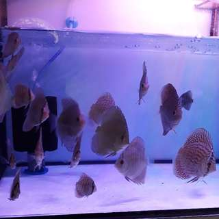 "2 to 2.5"" juveniles Lss , 3pcs blue snake and 5pcs wild discus"