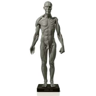 Anatomical Figure Male Version 2A: Artist Model