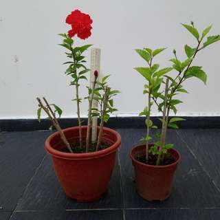 Offer : 2 pots of Hibiscus plants for $10 (red flowers)