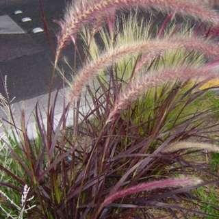 Flowering plants 💐Purple Fountain Grass (Pennisetum)