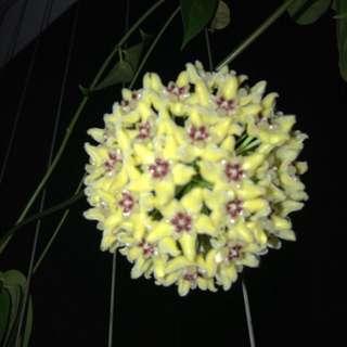 Hoya Halconesis