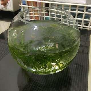 6吋魚缸(用不到半天)